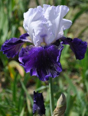 Iris 'Bet The Farm'