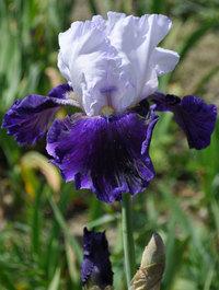 Iris-bet-the-farm1