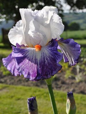Iris 'Gypsy Lord'