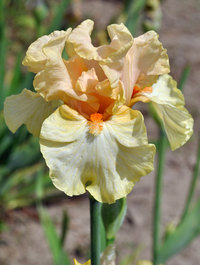 Iris 'Bundle of Love'