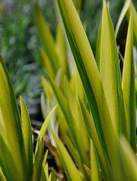 Iris-pseudocorus-variegata