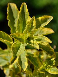 Lysimachia-punctata-golden-alexander