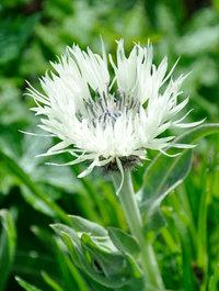 Centaurea montana 'Sulphurea'