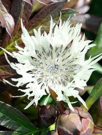 Centaurea-montana-sulphurea2