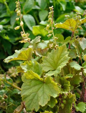 Tellima grandiflora Rubra