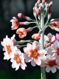 Primula-apple-blossom