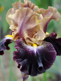 Iris 'Table For Two'