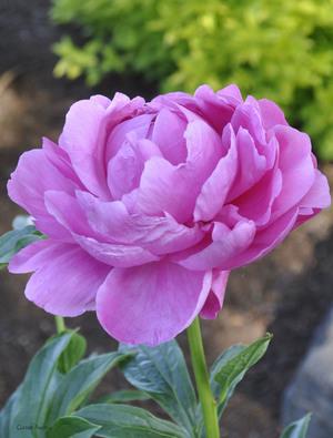 Peony 'Princess Margaret'