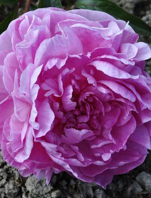 Peony 'Vivid Rose'