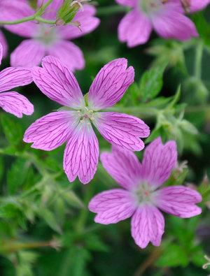 Geranium x oxonianum 'Miss Heidi'