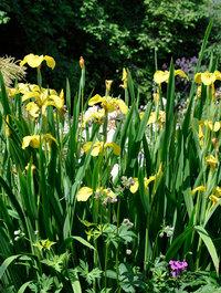 Iris-chance-beauty17