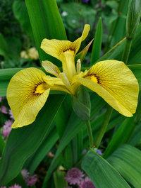 Iris-chance-beauty13