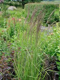 Calamagrostis-overdam2