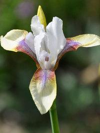 Iris 'Snow Prince'