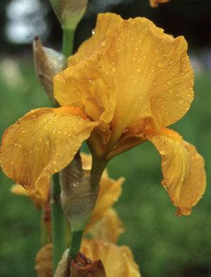 Iris 'Lord Warden'