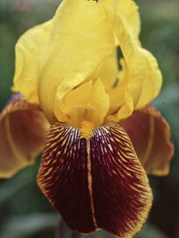 Iris-rajah