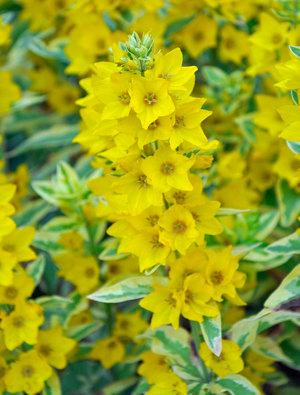 Lysimachia punctata 'Golden Alexander'