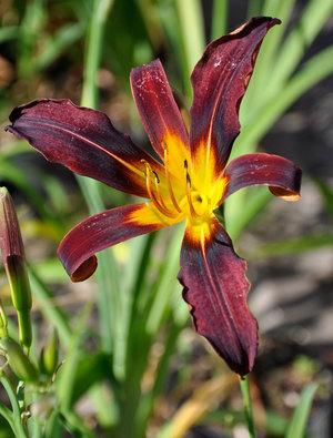 Hemerocallis 'Black Plush'