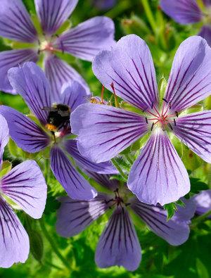 Geranium ibericum 'Ushguli Grijs'