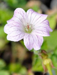 Geranium-versicolor
