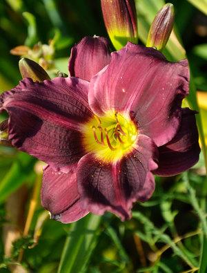 Hemerocallis 'Grape Velvet'