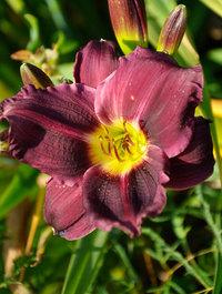 Hemerocallis-grape-velvet5