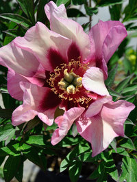 Peony 'Visions of Sugar Plums'