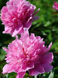 Peony-pink-cameo