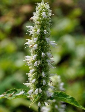 Agastache rugosa albiflora