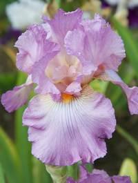 Iris 'Destination Fabulous'