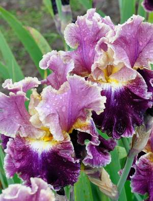 Iris 'Montmartre'