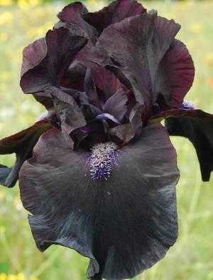 Iris 'Midnight Oil'