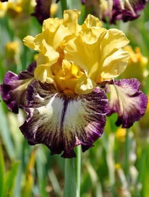 Iris 'High Desert'