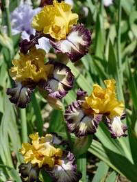 Iris-high-desert3