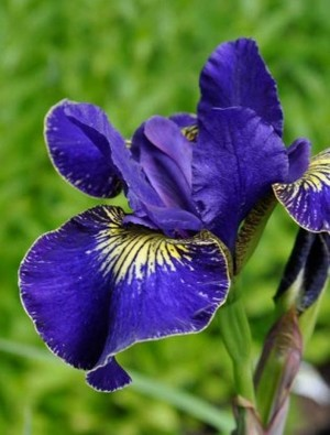 Iris 'Golden Edge'