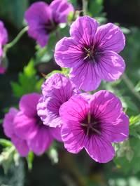 Geranium 'Nicola'