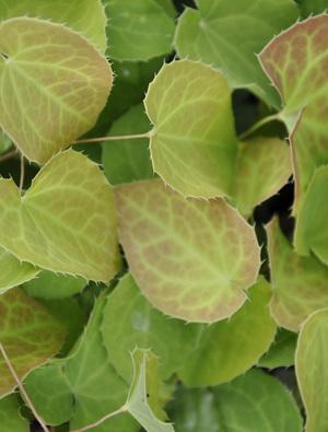 Epimedium x perralchicum 'Fröhnleiten'