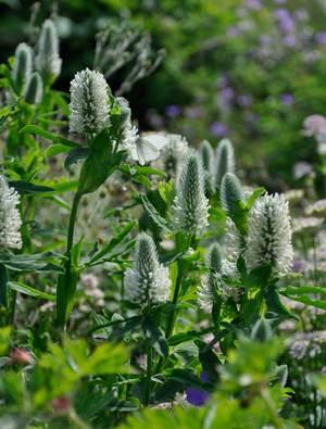 Trifolium rubens 'Album'