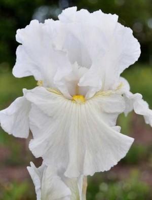 Iris 'Fleece Of White'