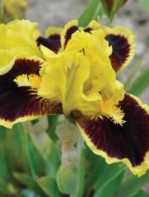 Iris 'Ultimate'