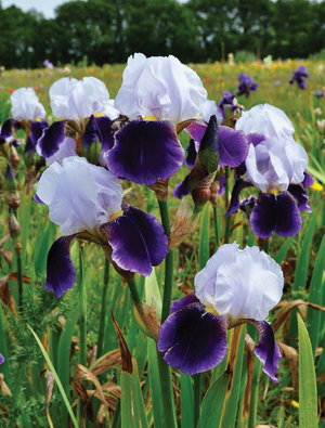 Iris 'Braithwaite'