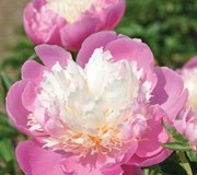 Peony 'Bowl Of Beauty'