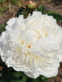 Mpp_peony-bowl-of-cream