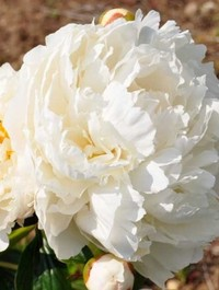 Mpp_peony-bowl-of-cream2