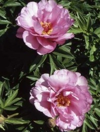 Mpp_peony-first-arrival1