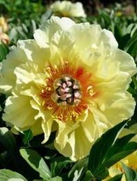 Mpp_peony-garden-treasure1