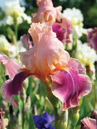 Iris-carnaby