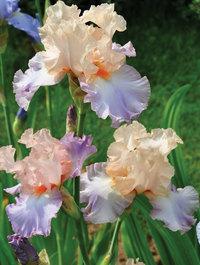 Iris-celebration-song1