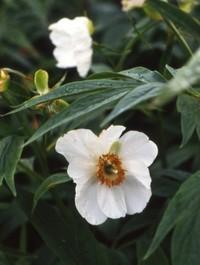 Peony emodi (Early Windflower)