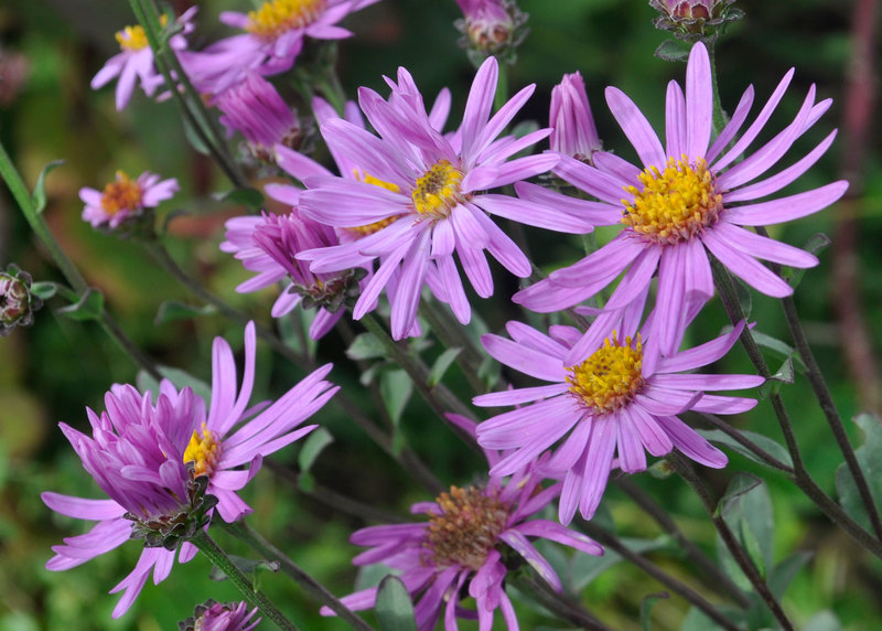 Late flowering perennials claire austin asters are an essential autumn ingredient by late september many have finished blooming but new england asters which do not get mildew flower right mightylinksfo